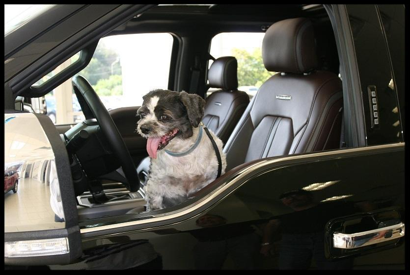 Dog in a Ford F-150. Dealership showroom