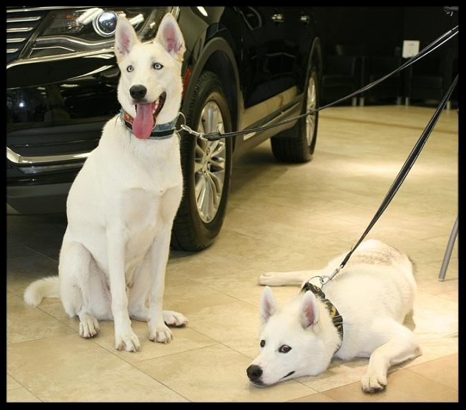 Dogs in car showroom Toronto GTA