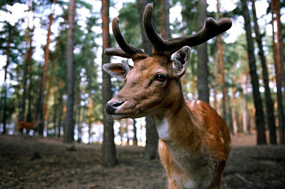 Deer Breeding Season Spells Danger On The Road